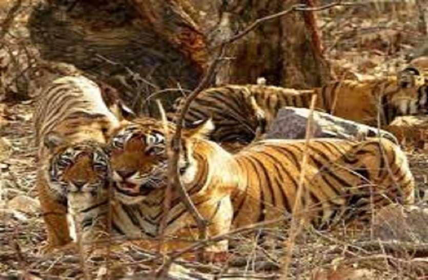 आदम खोर होते जा रहे हैं प्रदेश के बाघ