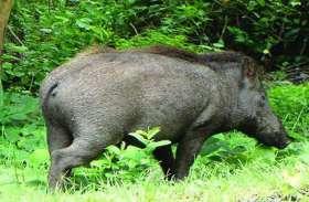 जंगली swine के हमले से 7 घायल
