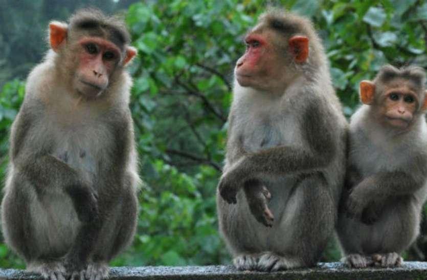 It's Not Corona But Monkey Fever For Shivamogga - कोरोना नहीं, बंदर बुखार  से परेशान शिवमोग्गा | Patrika News