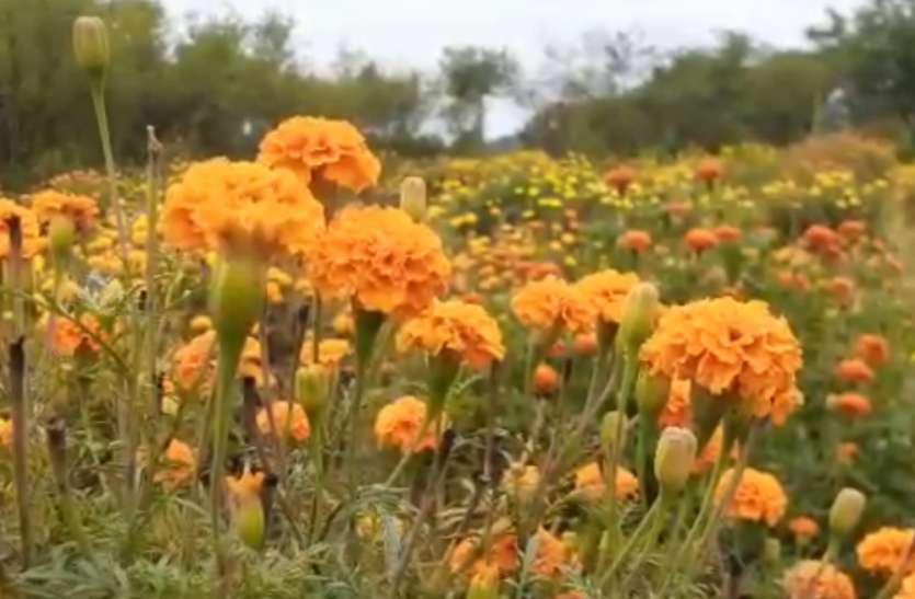 लॉक डाउन के चलते इत्रनगरी में फूल किसानों की बढ़ी मुसीबत