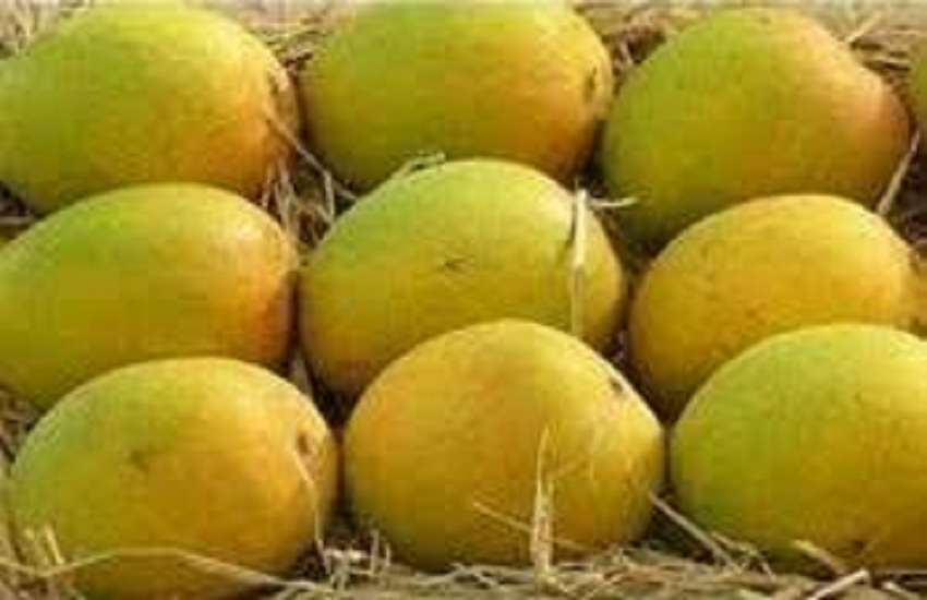 Maharashtra Hapus Mango : हापुस आम के किसानों की बढी चिंता, दोहरी मार झेलने को मजबूर
