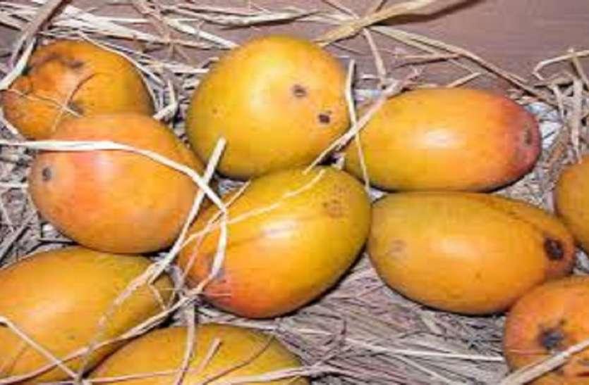 Maharashtra Hapus Mango : हापुस आम के किसानों की बढ़ी चिंता, दोहरी मार झेलने को मजबूर