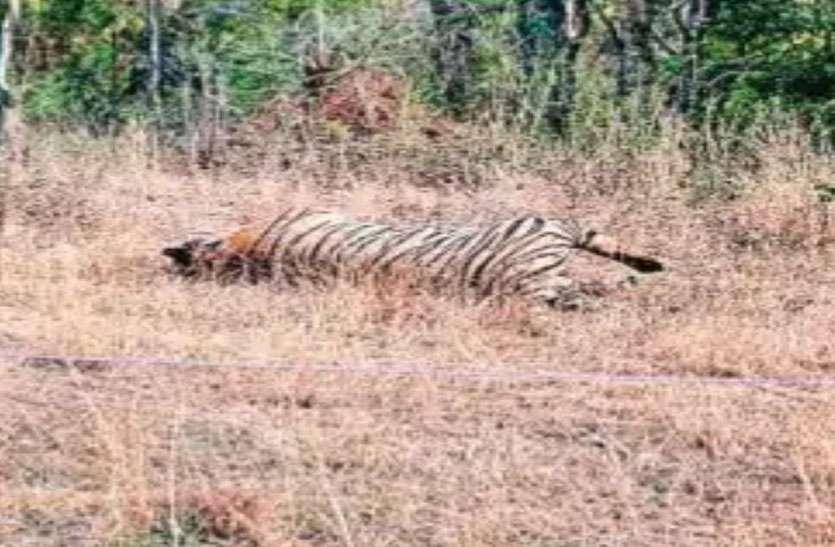 वन्य जीवों की कब्रगाह बन रहा यूपी-एमपी का बीहड़ वर्चस्व के लिए बाघों में हुई भिड़ंत उसके बाद...