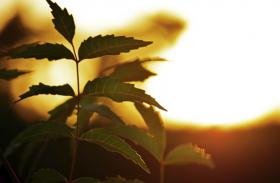 Neem Benefits: इम्यूनिटी बूस्ट करने के लिए चबाएं अरिष्ट की कोमल पत्तियां