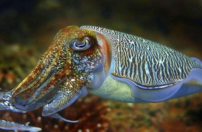 कटलफिश: दुनिया की सबसे अनोखी मछली, शरीर के अंदर मौजूद है 3 दिल