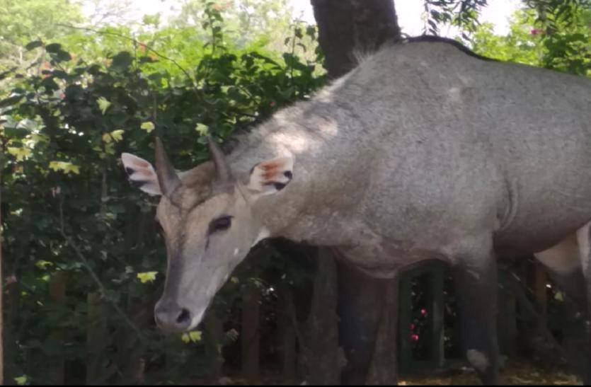 लॉकडाउन से छाया सन्नाटा तो बेखौफ होकर आबादी वाले इलाकों में घूमने लगे जंगली जानवर