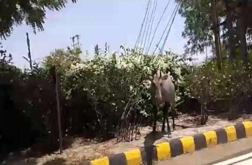 लॉकडाउन में घरों में कैद हुए लोग तो सड़कों पर घूमने लगे जंगली जानवर, वीडियो वायरल