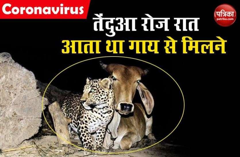 गाय ने तेंदुए को दिया मां का प्यार, रोज़ रात को आता था मिलने