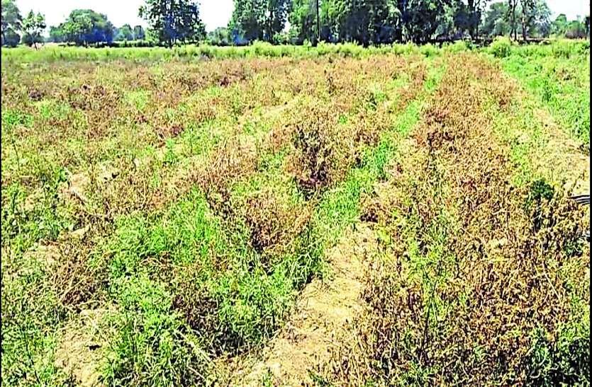 किसान हुए बर्बाद, सब्जियों में मुनाफा तो दूर लागत निकालना हुआ मुश्किल