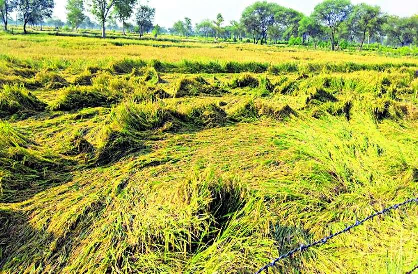 बेमौसम बारिश व आंधी-तूफान ने फसलों को पहुंचाया नुकसान, खड़ी फसल लेट गई