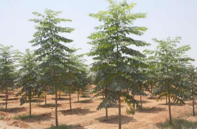 नीम की खेती से मालामाल होंगे कोरोना से तबाह हुए किसान