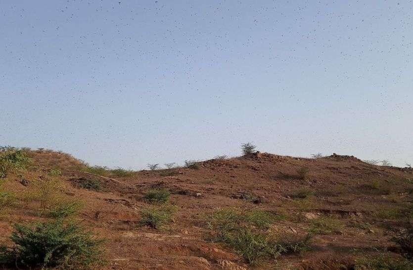पांच किलोमीटर क्षेत्र में टिड्डी दल का डेरा, रसायन छिड़काव किया