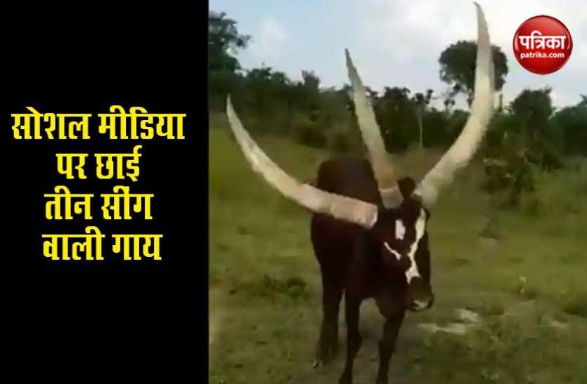 त्रिशूल जैसे सींग वाली गाय देखकर हैरान हुए लोग, सोशल मीडिया पर वायरल हुआ वीडियो