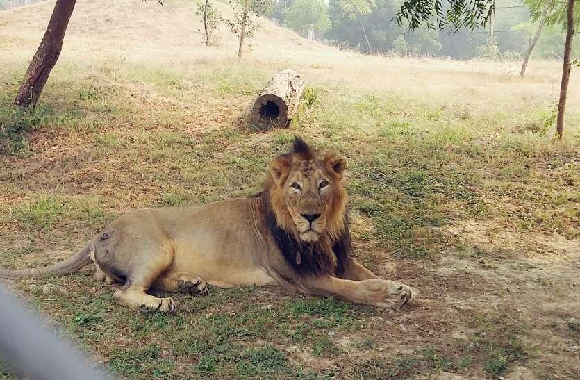 इस मशहूर पार्क में इस बीमारी से मरे 23 शेर, इटावा सफारी पार्क में हाई अलर्ट