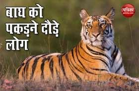 Viral Video: लॉकडाउन में दिखा अनोखा नजारा, सड़क पर टहलते बाघ को पकड़ने दौड़ पड़े लोग