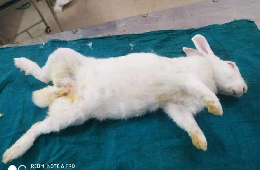 जनसंख्या वृद्धि रोकने सतना के पशु चिकित्सक ने की खरगोश की नसबंदी