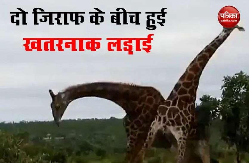 दो जिराफ खूंखार तरीके से आपस में भिड़े, वीडियो देख सहम गए लोग..देखें Viral Video