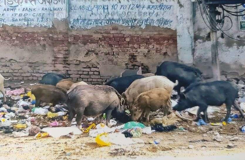 आवारा सुअरों से परेशान वार्डवासी, नपा नहीं दे रही ध्यान