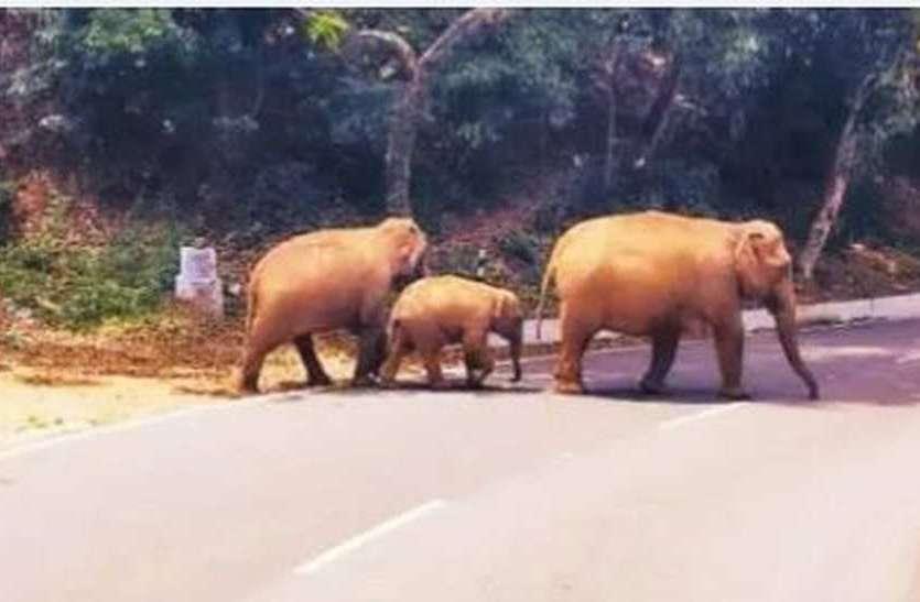 शहर की सड़कों पर झुंड में घूम रहे हाथी