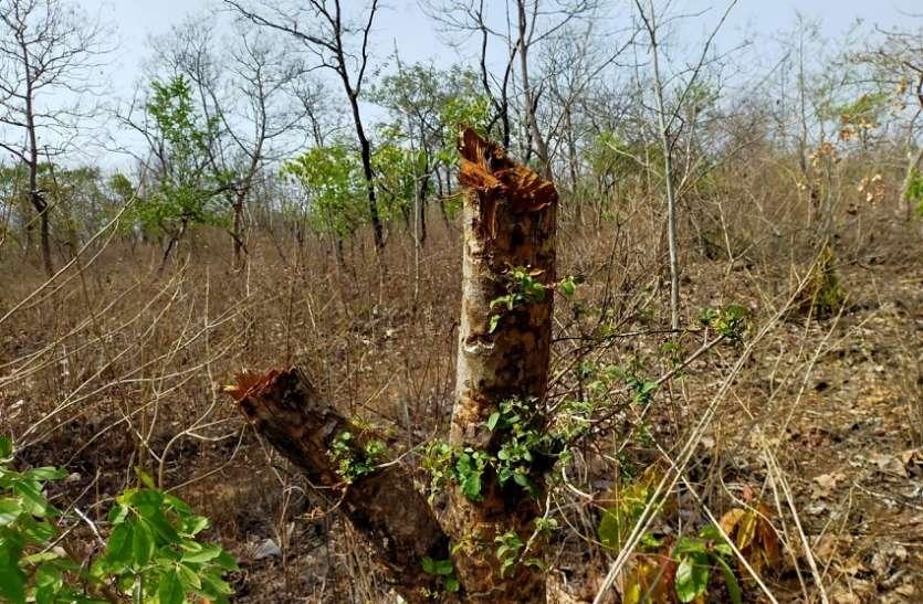 इतने पेड़ काट दिए कि मैपिंग में वन क्षेत्र ही नहीं दिख पाएगा कलियासोत