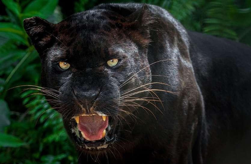Achanakmar Tiger Reserve में दिखा 'बघीरा' का जलवा,  सामने आई दुर्लभ तस्वीरें