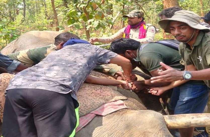 कोरबा में प्रथम हाथी को लगाया गया रेडियो कॉलरिंग,लंबे समय से कर रहा था उत्पात, अब उसके मूवमेंट की मिलेगी जानकारी
