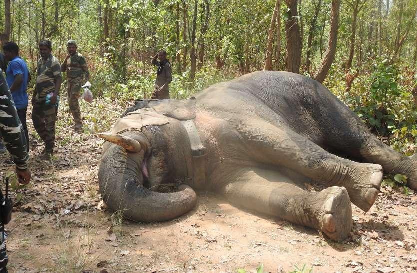 Breaking: वन विभाग को एक हफ्ते से छका रहा गणेश, प्रथम को ट्रैंक्यूलाइज कर गले में लगाया गया कॉलर आईडी