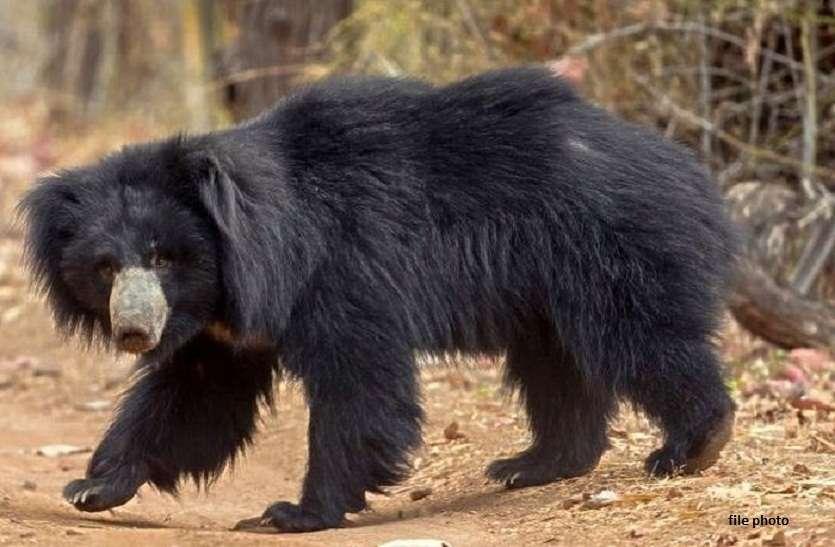 लॉक डाउन में बढ़ी वन्य जीवों की चहल कदमी, जंगल से निकल कर बाग में पहुंचा भालू