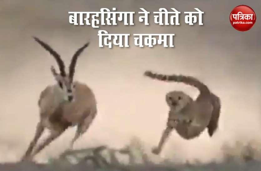 शिकार के लिए पीछे पड़े चीते को बारहसिंगा ने खूब छकाया..देखें  Viral Video