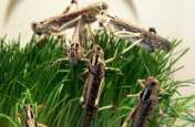 Tiddi Attack : जैसलमेर बना टिड्डियों का प्रवेश द्वार