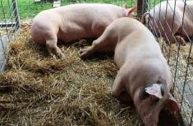 चीन से आए वायरस से मरने वाले सुअरों की संख्या 16 हजार पहुंची