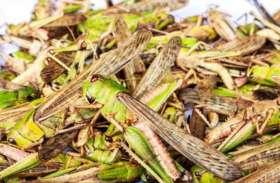 टिड्डी ने बढ़ाई धरतीपुत्रों की घबराहट,कृषि प्रधान हनुमानगढ़ जिले में ज्यादा नुकसान पहुंचने की आशंका