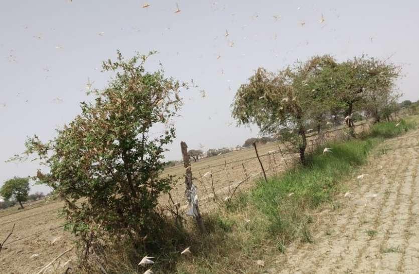 सब्जियों की फसलों पर टिड्डी दल का हमला