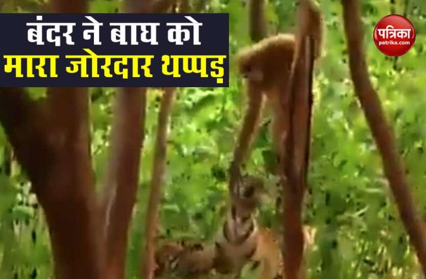 बंदर ने इतनी जोर से जड़ा थप्पड़ कि बिलबिला गया बाघ..देखें वायरल वीडियो