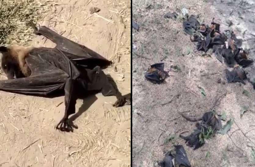 गोरखपुर और बलिया में चमगाड़दों की अचानक हो रही मौतों से दहशत, अधिकारियों दावा का हीट स्ट्रोक से मर रहे