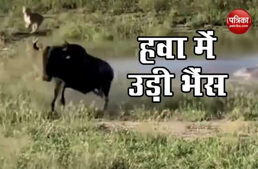 शेर ने घेरा तो भैंस ने हवा में उड़कर बचाई जान, सोशल मीडिया पर वायरल हुआ Video