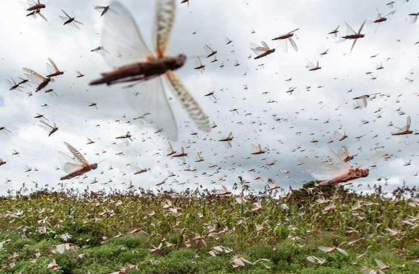 दक्षिण भारत की ओर टिड्डियों का रुख, इन राज्यों में मच सकती है तबाही, अलर्ट जारी