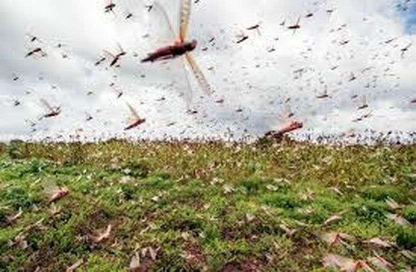 राजस्थान पर फिर टिड्डियों का हमला, अब आसमान से रखेंगे नजर