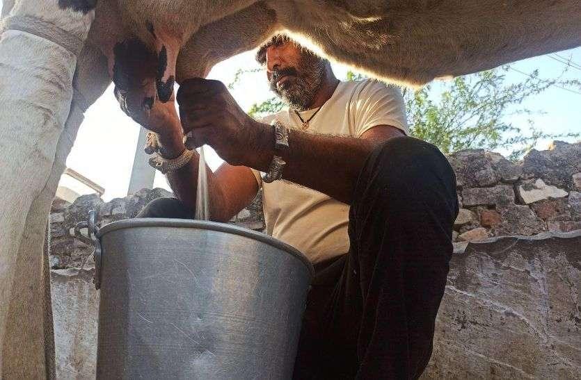 दूध-घी उत्पादन में आत्मनिर्भर बना अजमेर, प्रदेश में भी आपूर्ति