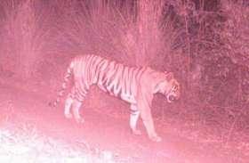 कैमरे में कैद हो रही बाघिन लेकिन वन विभाग की पकड़ से है दूर