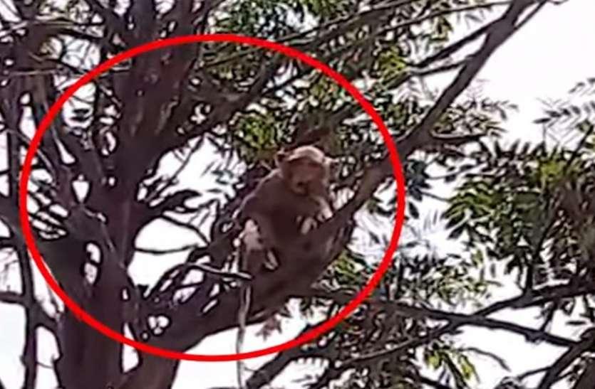 Meerut: लैब टेक्नीशियन सेकोरोनाके सैंपल छीन पेड़ पर चढ़ा बंदर चबा गया सारी किट, लोगों में दहशत