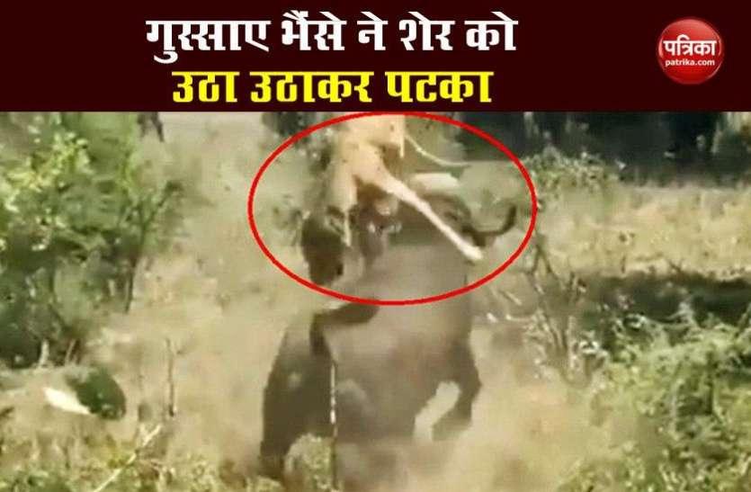 जंगल में हुई लड़ाई, तो गुस्साए भैंसे ने शेर को उठा उठाकर पटका, देखें VIDEO