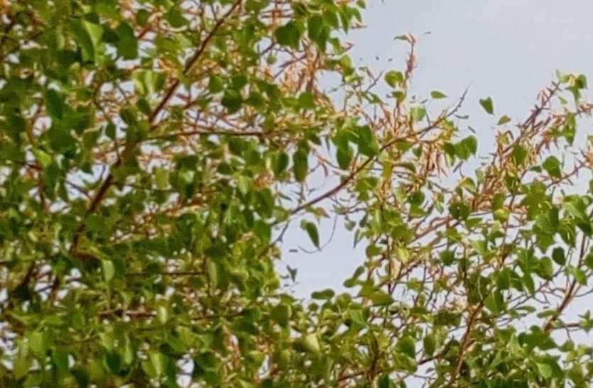 जैसलमेर में टिड्डियों ने कई पेड़ों को किया चट, वनस्पति का भी किया सफाया