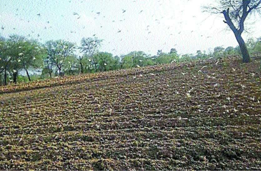 टिड्डी दल की दस्तक, फसलों को नुकसान