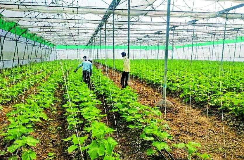 कोटा जिले के किसान ने कर दिया कुछ ऐसा, खीरा-ककड़ी की पैदावार से बरसा पैसा...