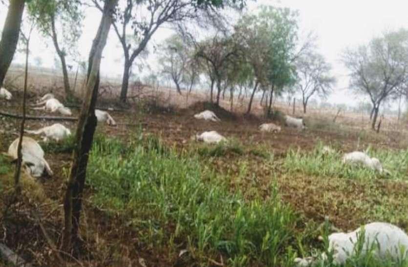 15 गायों की एक साथ खेत में हुई मौत, सभी ने खाया था जहरीला चारा