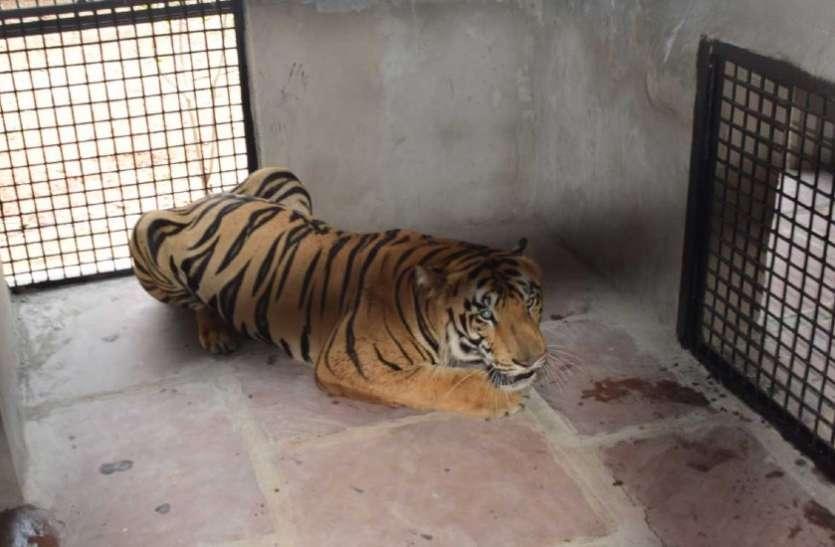 बाघ को किया गया क्वॉरंटीन, सलाखों में काट रहा है सजा, 3 लोगों पर किया था जानलेवा हमला