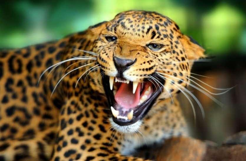 घर में घुसा तेंदुआ, रेस्क्यू कर निकालने में जुटा रहा वन अमला, फैली दहशत