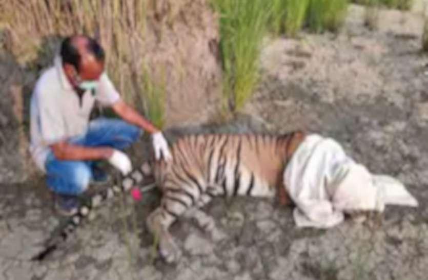 पीलीभीत में आदमखोर बाघिन को ट्रैंकुलाइज कर पिंजरे में किया कैद