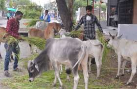 गोपुत्र सेना इंसानों की तरह कर ही लॉकडाउन में गायों की सेवा